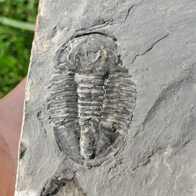 Fossilized Trilobite! Fossil Arthropod U-Dig Fossil Quarry, Utah