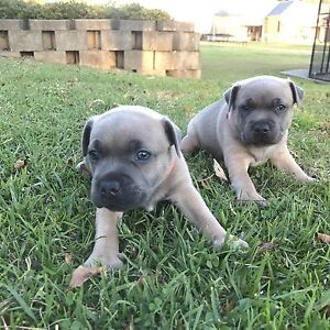 Blue fawn English staffy Cranebrook Penrith Area Preview