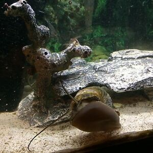 Looking for certain type of Apple Snail