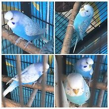 Beautiful bonded pair Budgies East Maitland Maitland Area Preview