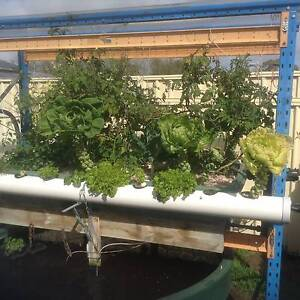 EXCEPTIONAL AQUAPONIC SETUP WITH THE FISH Wanneroo Wanneroo Area Preview