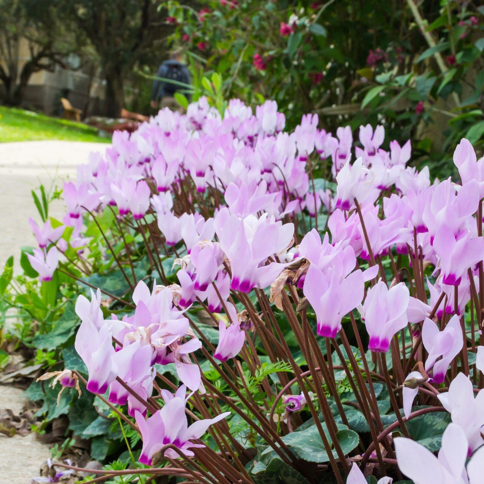 Cyclamen Bulbs Hederifolium Pink Autumn Flowering Garden Perennial Flowers