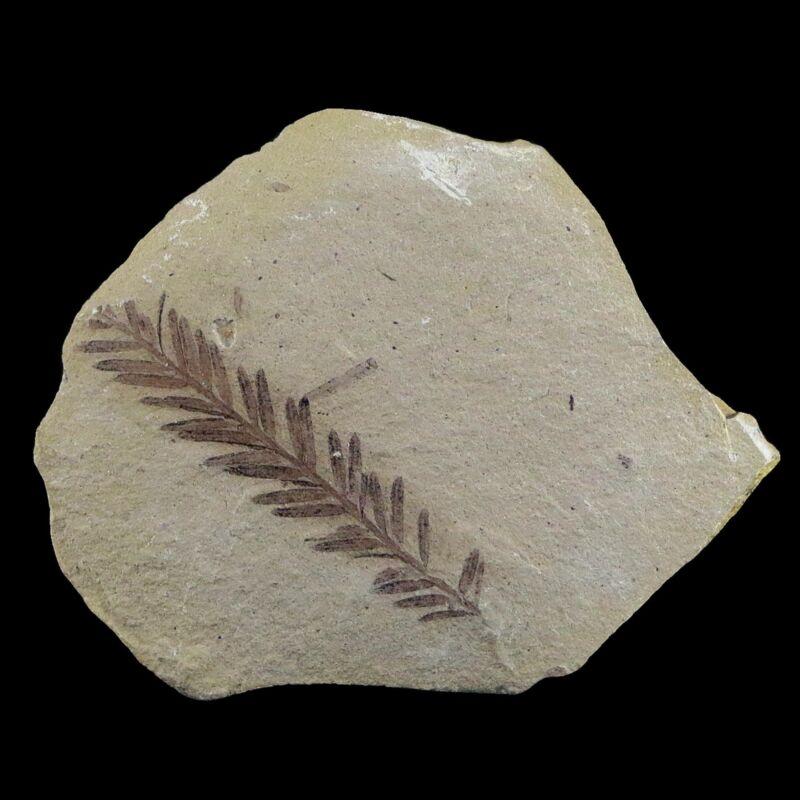 "2"" Detailed Fossil Plant Leafs Metasequoia Dawn Redwood Oligocene Age MT"
