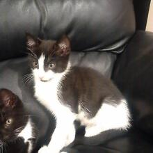 Cute and playful kitten - Microchipped and dewormed Armidale Armidale City Preview