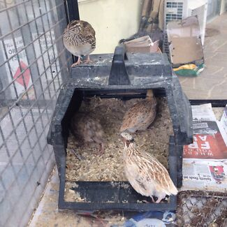 Japanese quail  Yanderra Wollondilly Area Preview