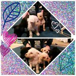 Puppies 4xF 1xM North St Marys Penrith Area Preview