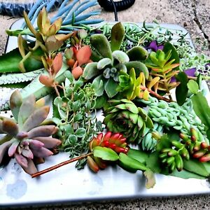 Cheap Lot of Assorted Succulent Plants/Cuttings