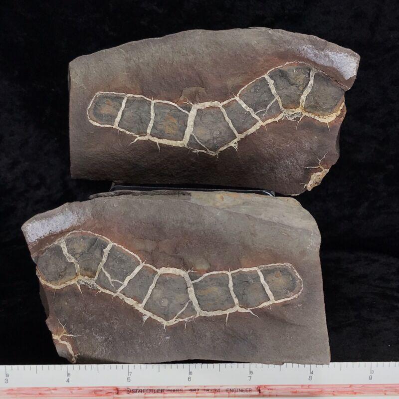 "4-1/2"" Fossil Sea Cucumber or Coprolite Siderite Nodule Holothuroidea Kentucky"