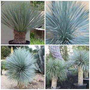 10 graines yucca rostrata plantes grasses cactus seed for Plante yucca