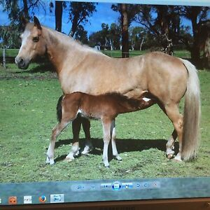 Registered Quarterhorse Mare/ Foal at Foot West Coolup Murray Area Preview