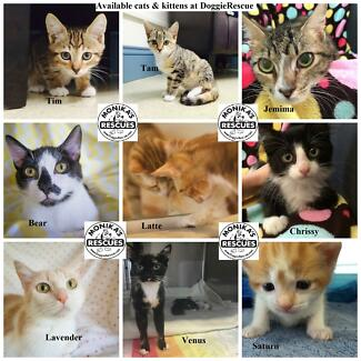 Cats and Kittens ADOPT DON'T SHOP Ingleside Warringah Area Preview
