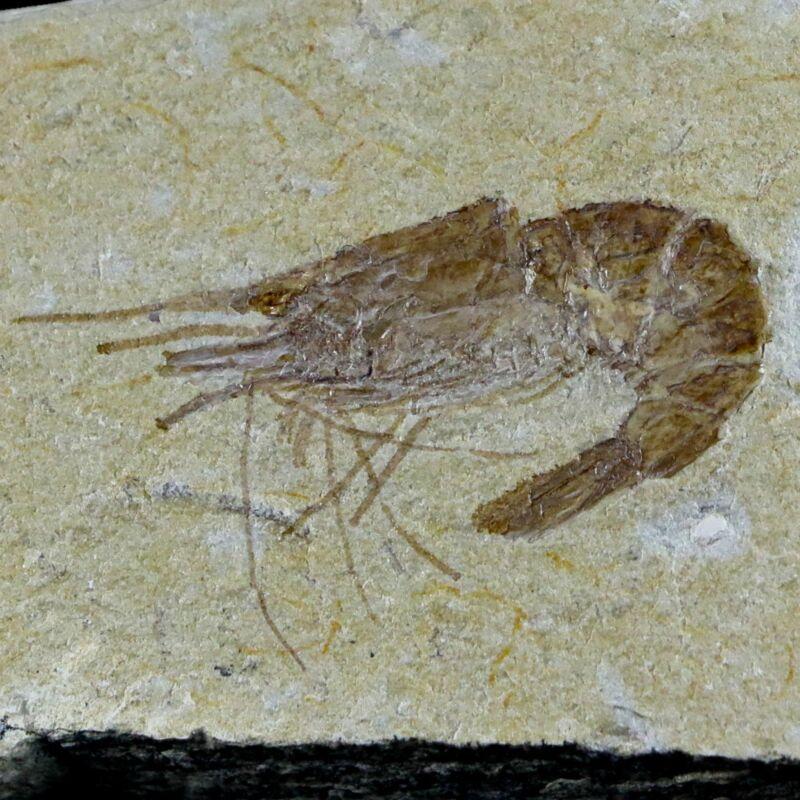 "1.4"" Fossil Shrimp Carpopenaeus Cretaceous Age 100 Mil Yrs Old Lebanon COA"