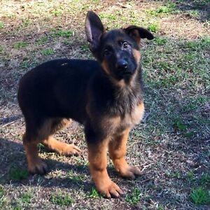 german shepherd x | Dogs & Puppies | Gumtree Australia Free