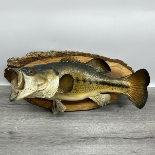 Large Big Mouth Bass Fish Full Body Skin Mount Taxidermy Cabin Vintage Decor