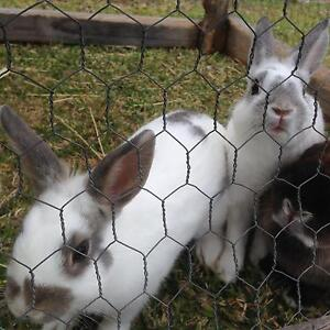 Rabbits for sale Bass Hill Bankstown Area Preview