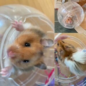 Syrian Hamsters | Adopt or Rehome Pets in Toronto (GTA