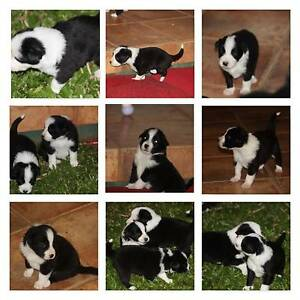 Border Collie Pups for sale Broughton Charters Towers Area Preview
