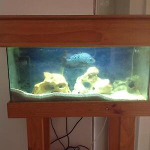 Fish tank with Cichlid Kingsley Joondalup Area Preview