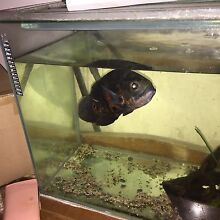2 large tiger oscars - breeding pair  and tank Victoria Park Victoria Park Area Preview