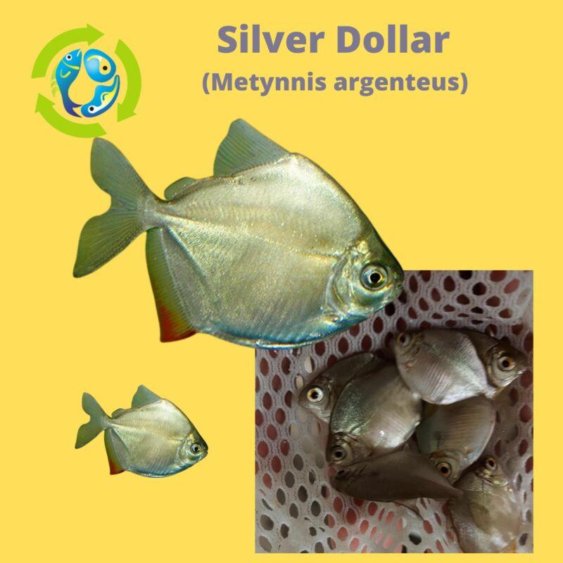 "6 FISH PACK SILVER DOLLAR 1.5"" (Metynnis argenteus)"