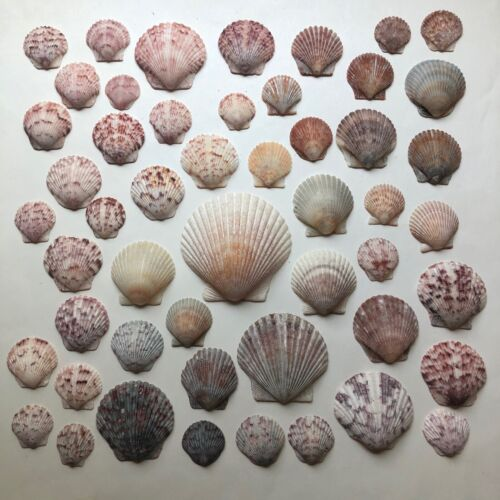 Lot 50 Colorful CALICO Sea Shell Scallop Seashells FL Gulf Beach Natural Finds