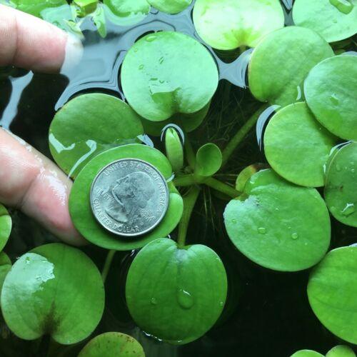 15+ Amazon Frogbit, Floating Aquarium Plant, Green & Healthy Amazon Limnobium