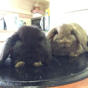 MINI LOPS WITH HAY AND PELLETS Narwee Canterbury Area Preview