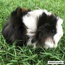GORGEOUS FLUFFY TEXEL AND PERUVIAN BABY GUINEA PIGS! Alexandra Hills Redland Area Preview
