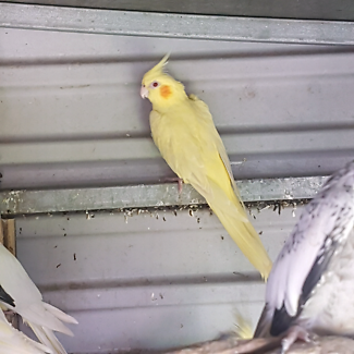 Yellow and white cockatiel for sale - for breeding