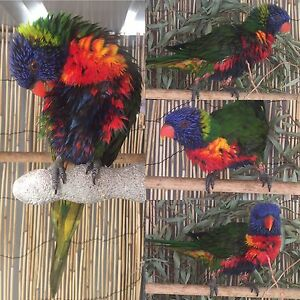 AVIARY MALE LORIKEET Carine Stirling Area Preview