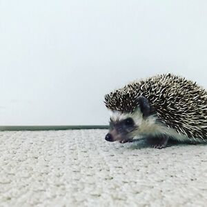 Happy friendly male hedgehog for sale
