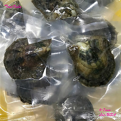 50 Individually Wrapped Akoya Oysters with SMALL Pearls