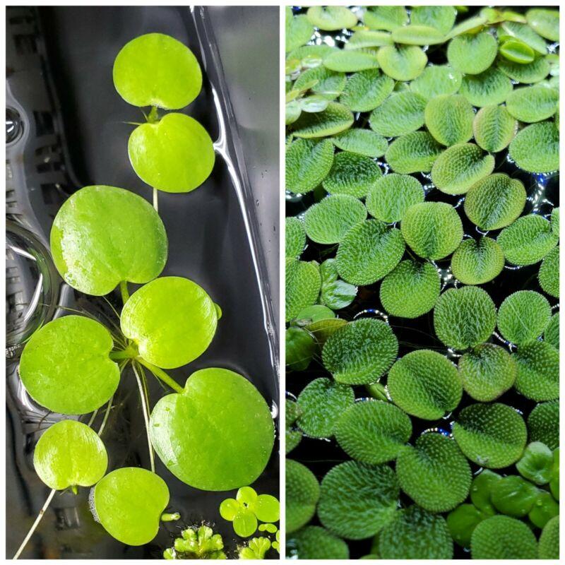 Live Floating Plant Combo: Amazon Frogbit + Water Spangles (Salvinia Minima)