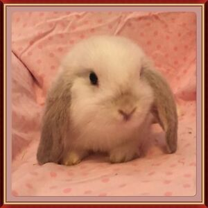 Seal Point Pure Bred Mini Lop Rabbit Joondalup Joondalup Area Preview