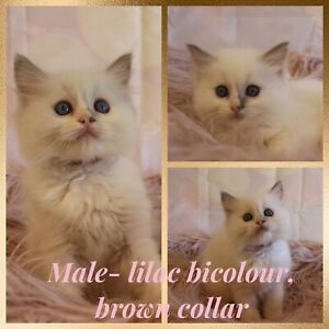 Purebred, pedigree ragdoll kittens from registered breeder.