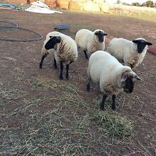 Suffolk lambs for sale Rockbank Melton Area Preview