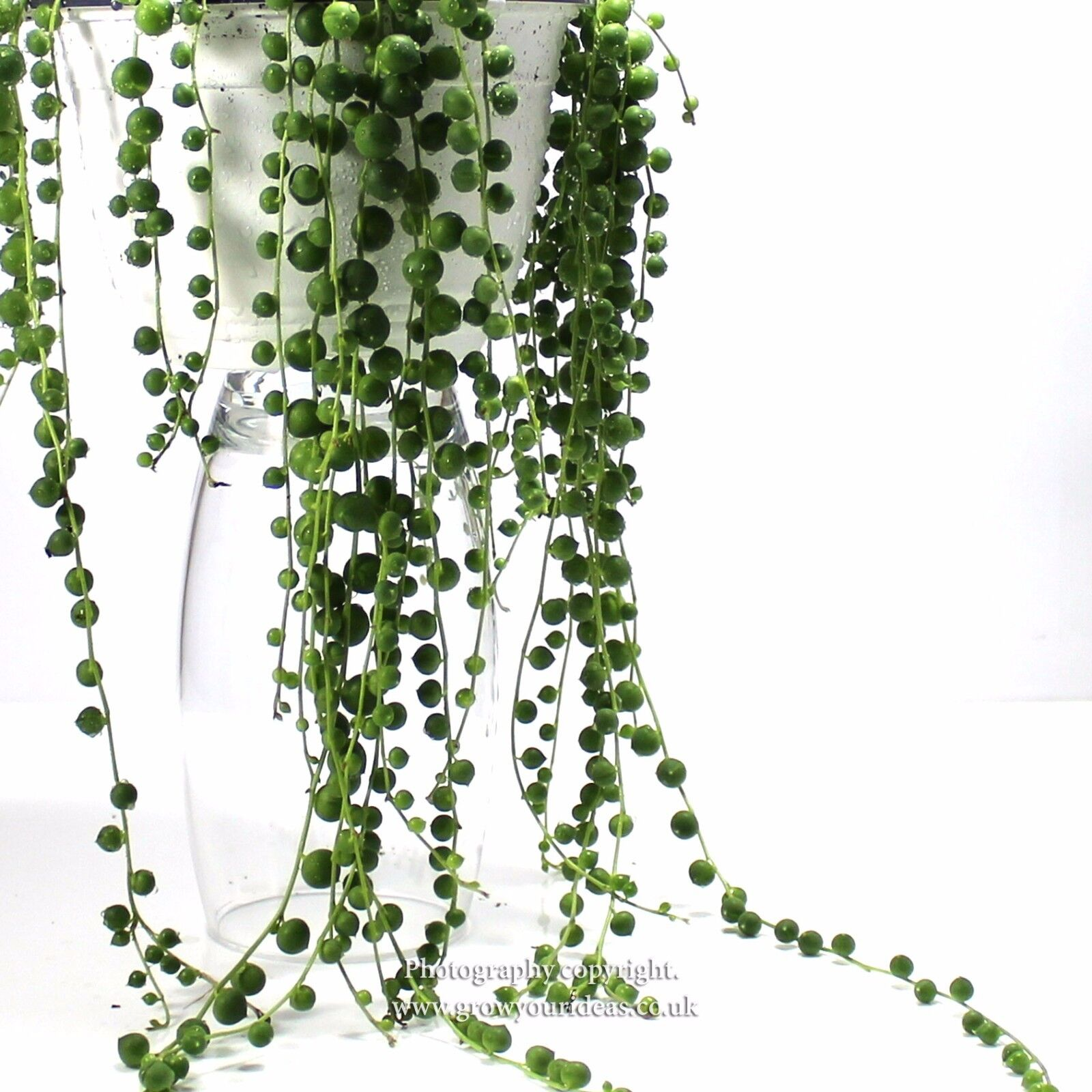 string of pearls succulent - HD1600×1600