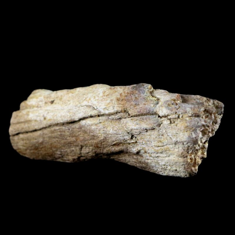 "4.2"" Edmontosaurus Fossil Limb Bone Lance Creek FM WY Cretaceous Dinosaur COA"