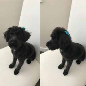 8 Month Old Female Schnoodle