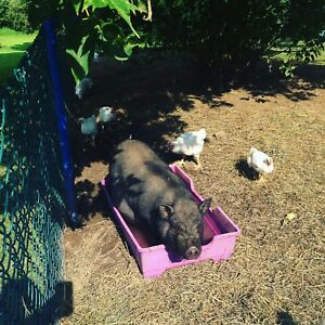 Pot bellied pigs
