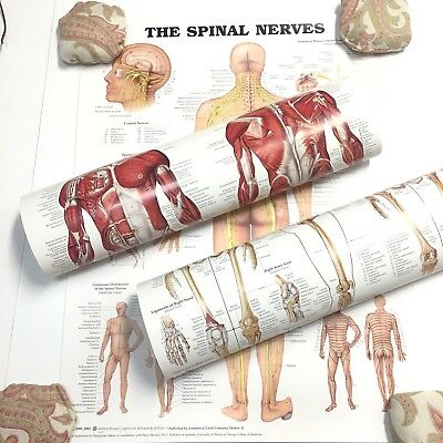Spinal Nerves Muscular Skeletal Anatomical Chart 3 Posters Wolters Kluwer 20x26