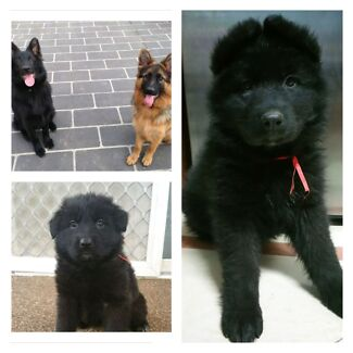 Updated 08.10.15 Glamour coat German Shepherd  Bass Hill Bankstown Area Preview