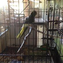 Kakariki Parrots for sale Mount Crosby Brisbane North West Preview