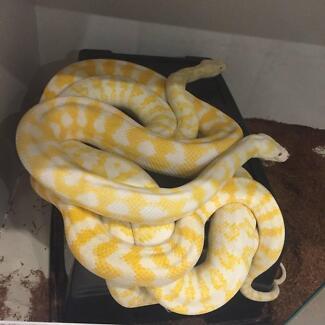 Albino Darwin Carpet Python Hatchies for Sale