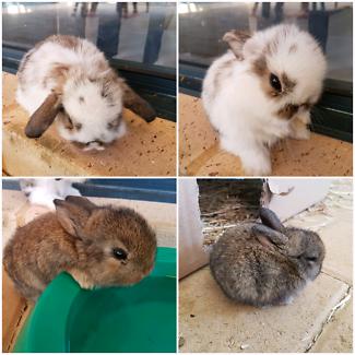 2 Dwarf Lop Cross Baby Bunnies