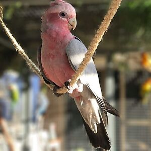 JUVENILE AVIARY GALAHS Carine Stirling Area Preview