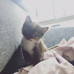 Beautiful kitten girl looking for new home Canterbury Canterbury Area Preview