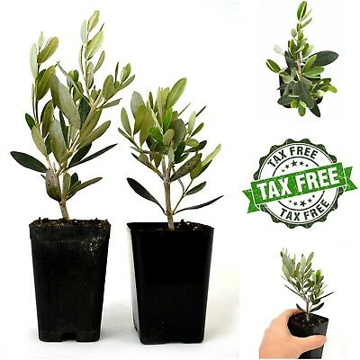 Homegrown Olive Tree of Peace 2-Pack Greek Plant Live Potted Olea Europaea Pot ()