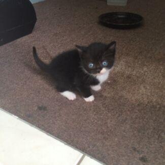 Kittens for Sale  Regents Park Logan Area Preview