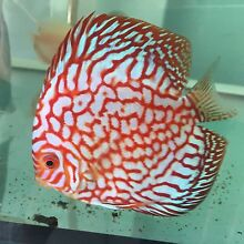 - HIGH PENANG grade CHEN DISCUS tropical fish -NEW SHIPMENT Como South Perth Area Preview